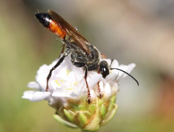 Sphex funerarius - Heuschrecken-Sandwespe -  - Spheciformes - Grabwespen - thread-waisted wasps
