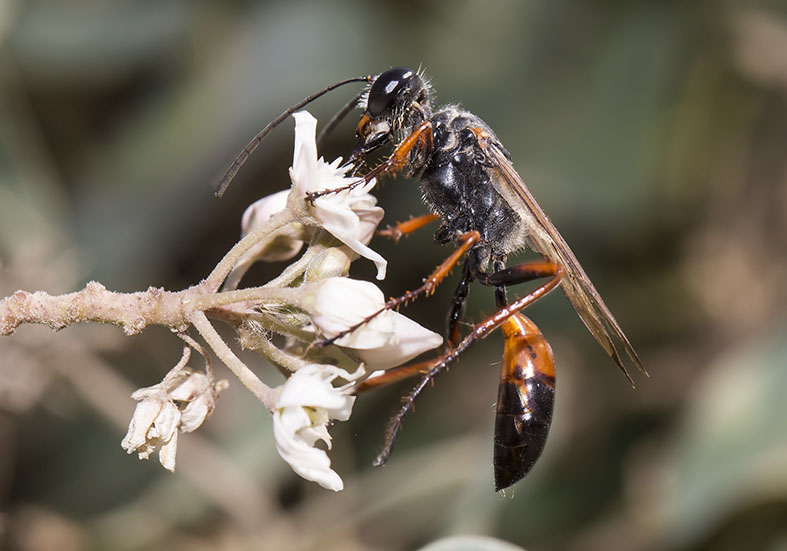 Sphex purinosus  (female) - Kos - Sphecidae - Grabwespen - thread-waisted wasps