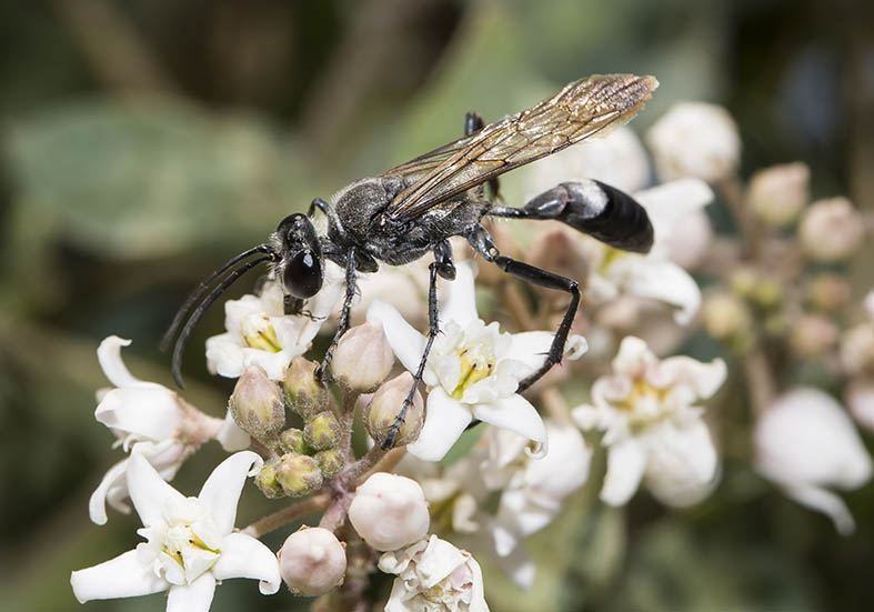 Sphex purinosus  (male) - Kos - Sphecidae - Grabwespen - thread-waisted wasps