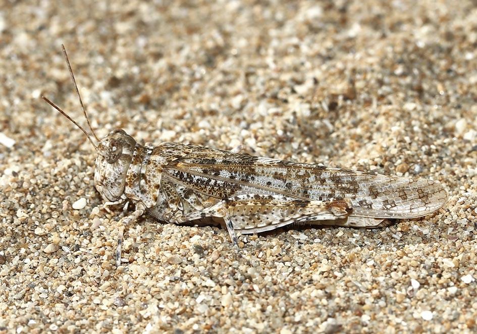 Sphingonotus caerulans - Blauflügelige Sandschrecke - Fam.  Acrididae/Oedipodinae  -  Korfu - Caelifera - Kurzfühlerschrecken - grasshoppers