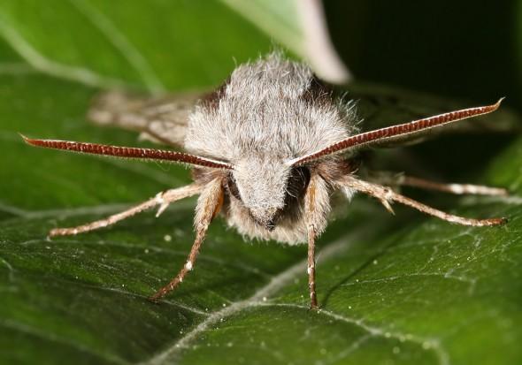 Sphinx pinastri - Kiefernschwärmer -  - Sphingidae - Schwärmer - hawk moths