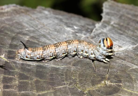 Sphinx pinastri - Kiefernschwärmer (Raupe) -  - Sphingidae - Schwärmer - hawk moths