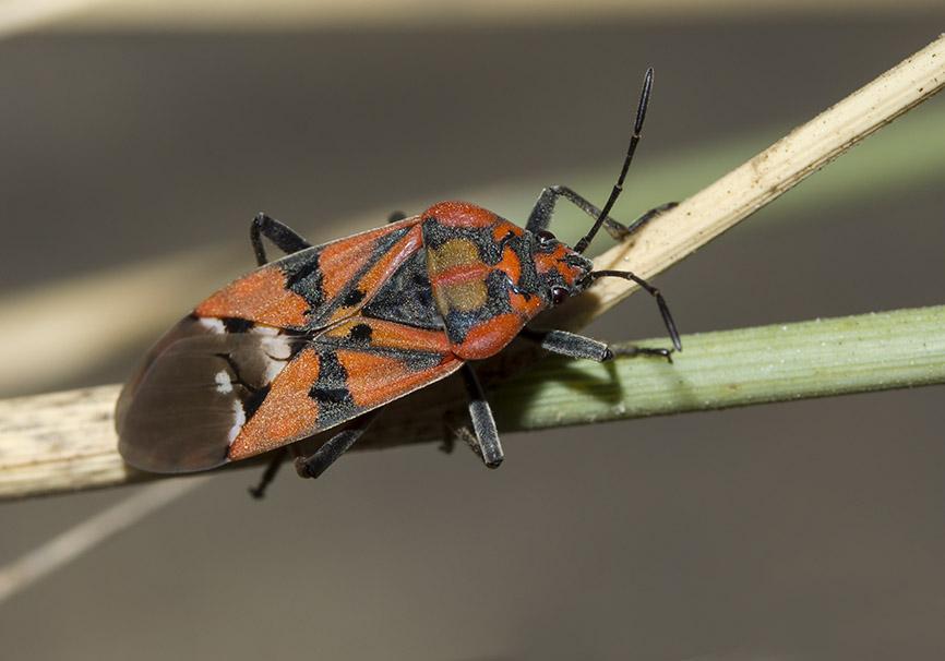 Spilostethus pandurus - Fam. Lygaeidae  -  Folegandros - Heteroptera - Wanzen - true bugs