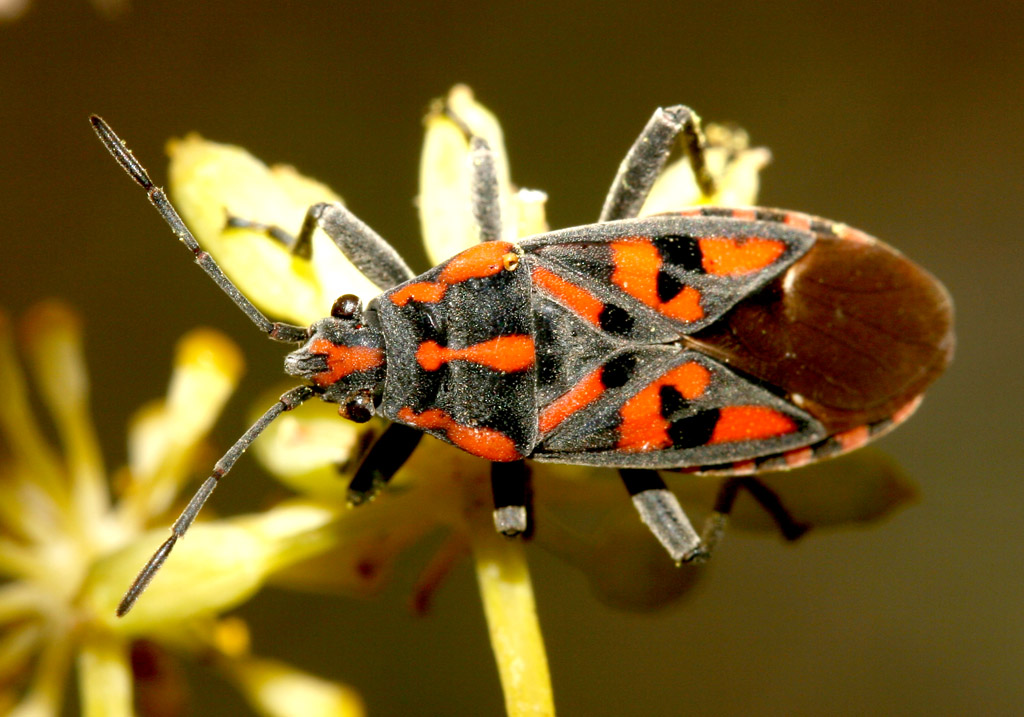 Spilostethus saxatilis - Ritterwanze - Fam. Lygaeidae  -  Kykladen - Heteroptera - Wanzen - true bugs