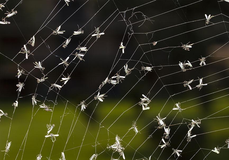 Spinnennetz -  - Araneae - Webspinnen - orb-weaver spiders