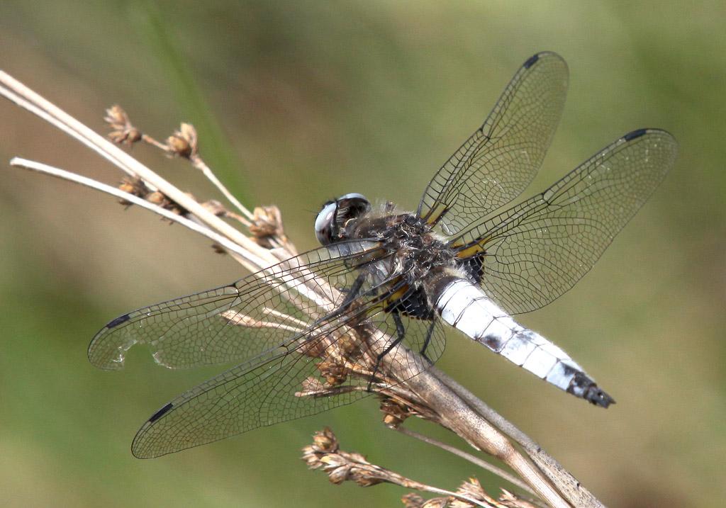 Libellula fulva - Spitzfleck - Fam. Libellulidae  -  Toscana - Anisoptera - Großlibellen - dragonflies