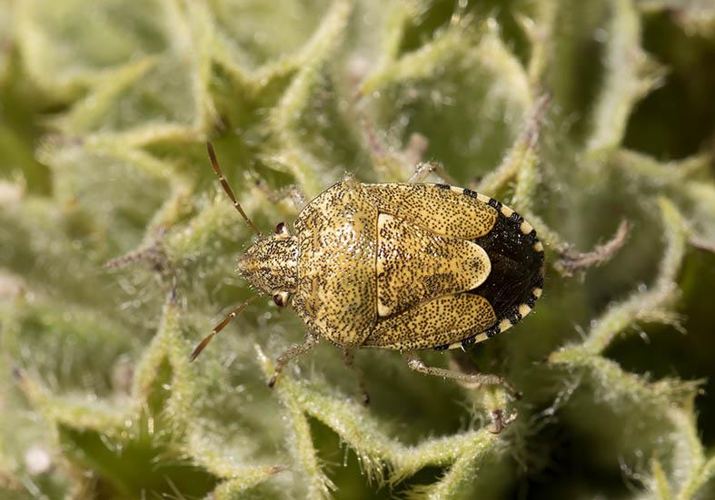 Staria lunata  -  Sichelfleck-Baumwanze - Fam. Pentatomidae - Zagori (Griechenland) - Heteroptera - Wanzen - true bugs