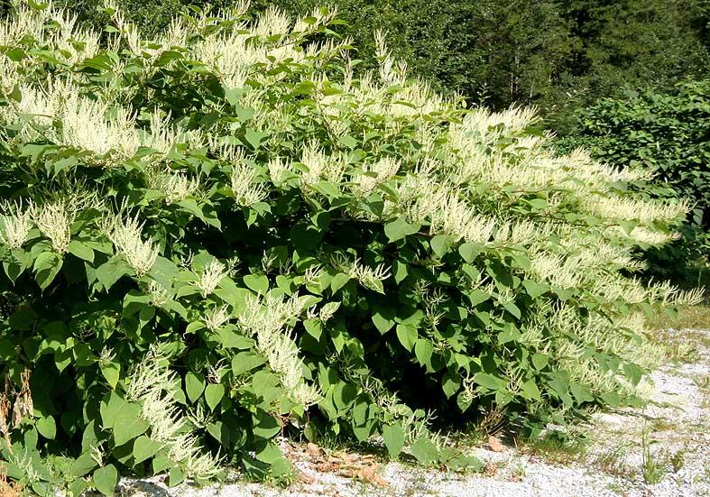 Fallopia sp - Stauden-Knöterich - Polygonaceae - Neophyten - neophytes