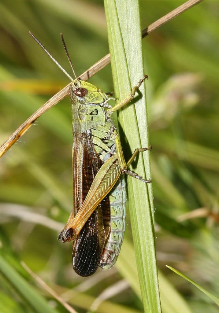 Stauroderus scalaris - Gebirgsgrashüpfer - UFam. Gomphocerinae - Acrididae - Feldheuschrecken - grasshoppers