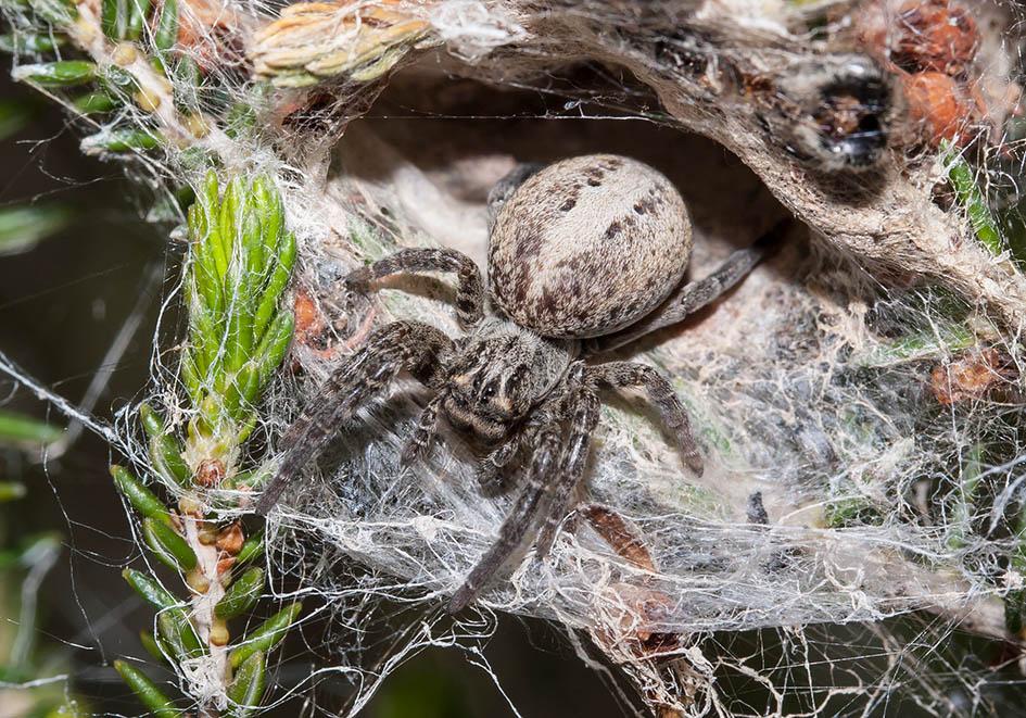 Stegodyphus lineatus - Fam. Eresidae  -   (Fourni) - Araneae - Webspinnen - orb-weaver spiders