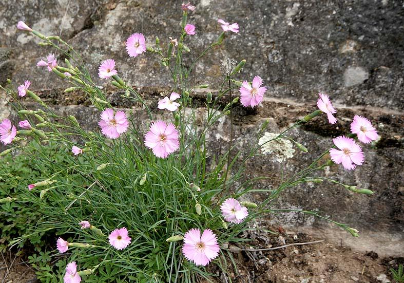 Dianthus sylvestris - Steinnelke - Fam. Caryophyllaceae - Trockenrasen - dry grasslands