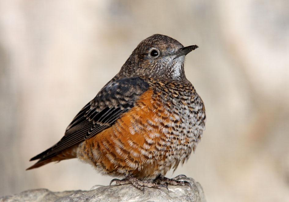 Monticola saxatilis - Steinrötel -  - Passeres - Singvögel - songbirds