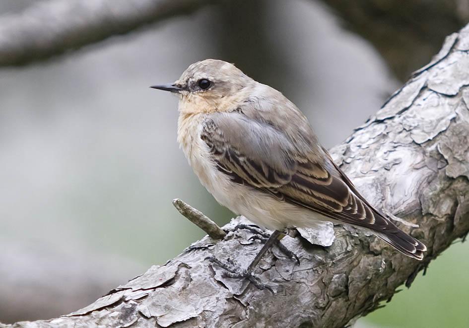 Oenanthe oenanthe - Steinschmätzer -  - Passeres - Singvögel - songbirds