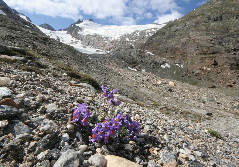 Linaria alpina - Alpen-Leinkraut - Fam. Scophulariaceae - Subnivale Zone / Schneetälchen