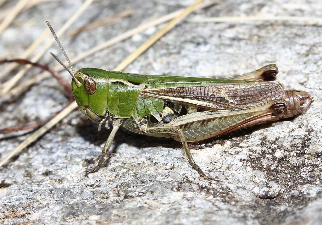 Stenobothrus lineatus - Heidegrashüpfer - UFam. Gomphocerinae - Acrididae - Feldheuschrecken - grasshoppers