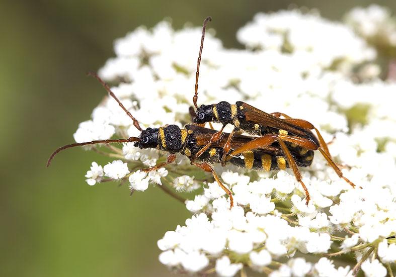 Stenopterus flavicornis - Spitzendeckenbock  - UFam. Cerambycinae  -  Zagori (Griechenland) - Cerambycidae - Bockkäfer - long-horned beetles
