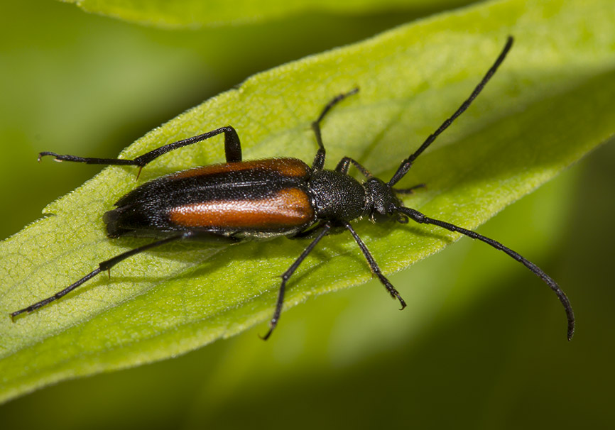 Stenurella melanura - Kleiner Schmalbock - UFam. Lepturinae - Cerambycidae - Bockkäfer - long-horned beetles