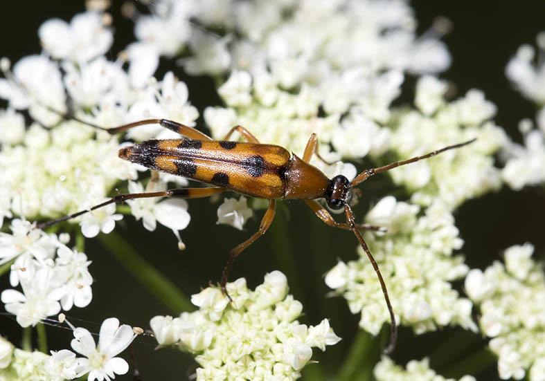 Stenurella septempunctata  - Siebenpunktierte Halsbock - UFam. Lepturinae   -  Zagori (Griechenland) - Cerambycidae - Bockkäfer - long-horned beetles