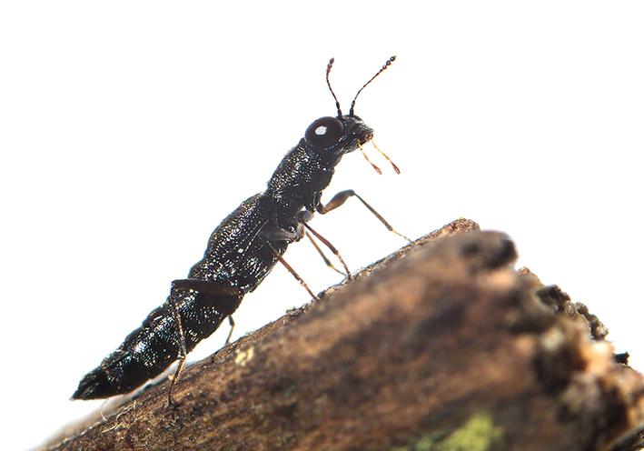 Stenus sp. -  - Staphylinidae - Kurzflügler - rove beetles