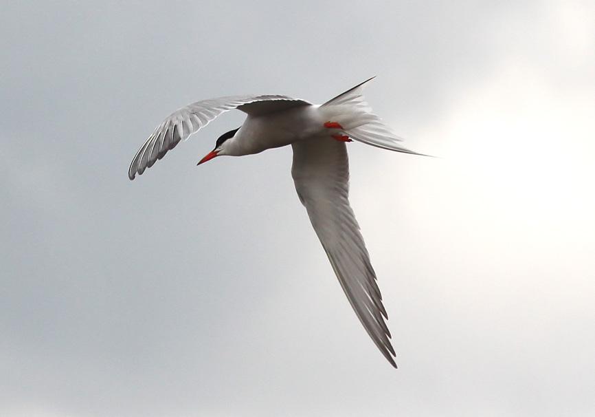 Sterna hirundo  -   Fluss-Seeschwalbe - Lesbos - Aves - Vögel - birds