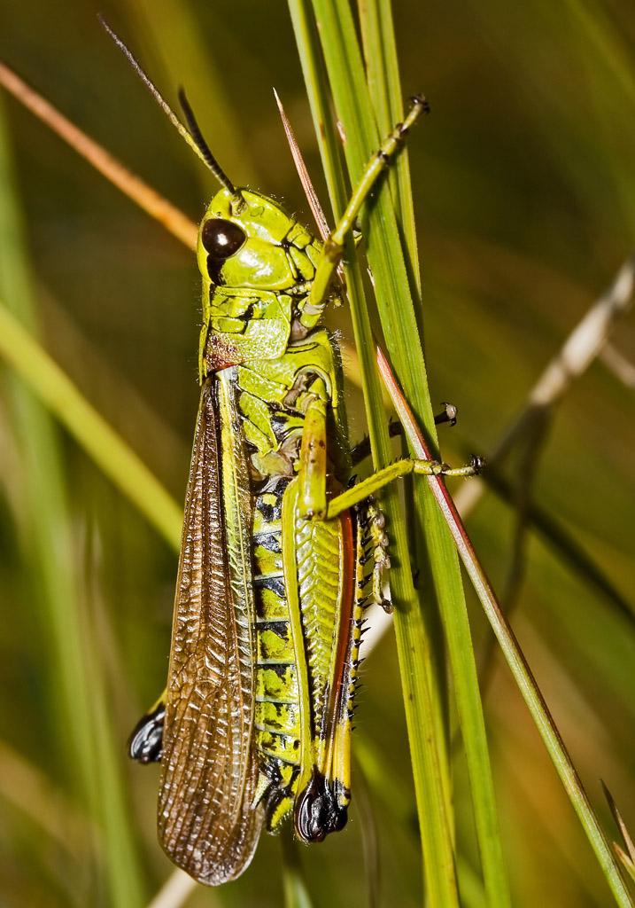 Stethophyma grossum-Sumpfschrecke - UFam. Oedipodinae - Acrididae - Feldheuschrecken - grasshoppers