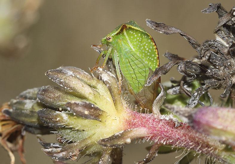 Stictocephala bisonia - Büffelzikade -  - Cicadoidea - Zikaden - cicadas