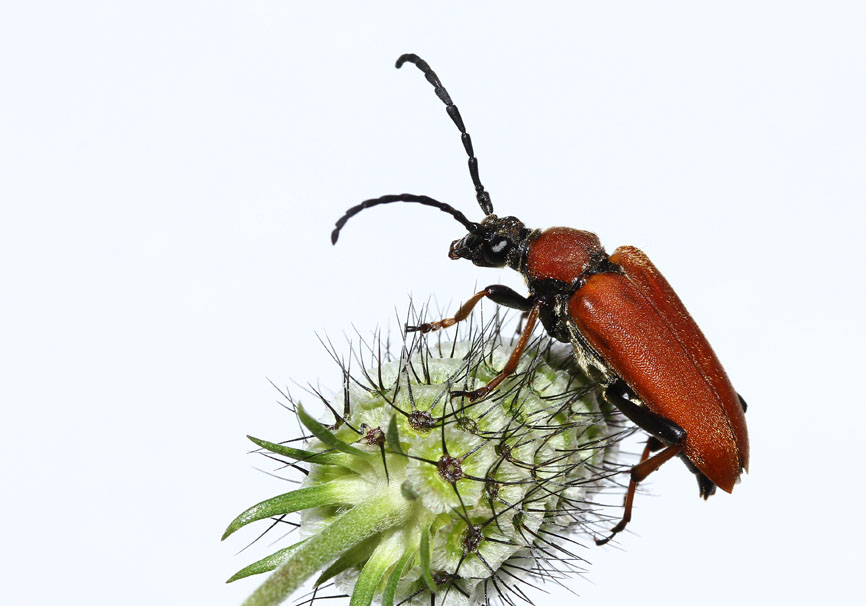 Stictoleptura rubra  - Rothalsbock   (female) - UFam. Lepturinae - Cerambycidae - Bockkäfer - long-horned beetles