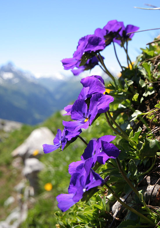 Viola calcarata - Langsporniges Stiefmütterchen - Fa. Violoceae - Alpine Rasen - alpine grassland