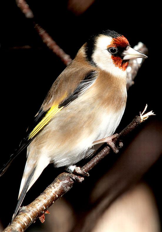 Stieglitz - Carduelis carduelis - Alpenzoo - Passeres - Singvögel - songbirds