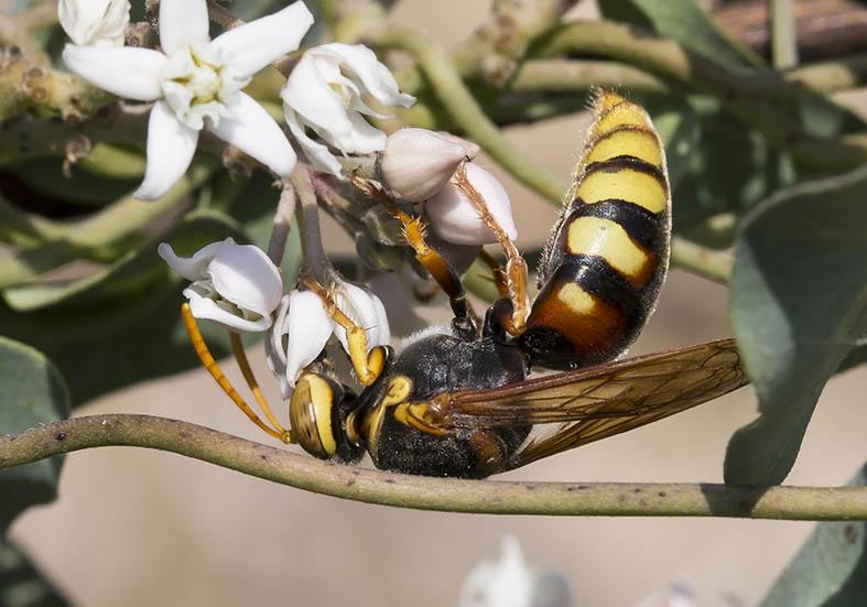 Stizus ruficornis - Kos - Sphecidae - Grabwespen - thread-waisted wasps