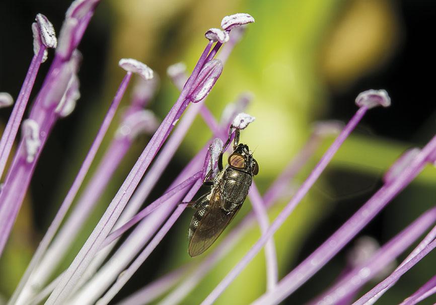 Stomorhina lunata  - Fam. Calliphoridae -  Schmeißfliegen - Brachycera (Fliegenartige) - Schizophora - muscoids