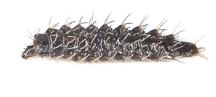 Stratiomyidae - Waffenfliegen - terrestrische Larve - Dipteren-Larven