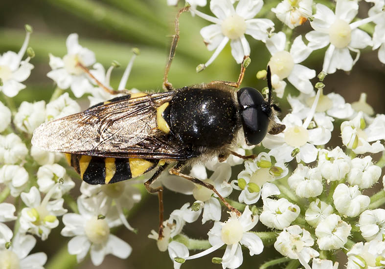 Stratiomys chamaeleon Gemeine Waffenfliege - Fam. Stratiomyidae - Waffenfliegen - Brachycera (Fiegenartige) - Orthorrhapha