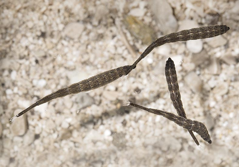 Stratiomys sp. - Fam. Stratiomyidae - Waffenfliegen - aquatische Dipteren-Larven