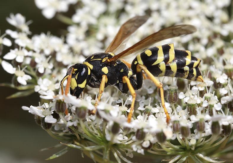 Polistes-dominula - Haus-Feldwespe - mit Strepsiptera-Fächerflügler - Vespidae - Faltenwespen - wasps