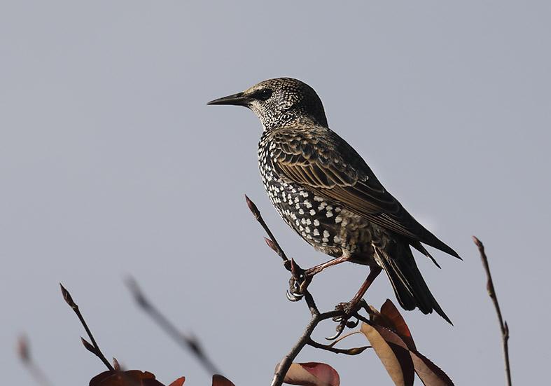 Sturnus vulgaris - Star -  - Passeres - Singvögel - songbirds
