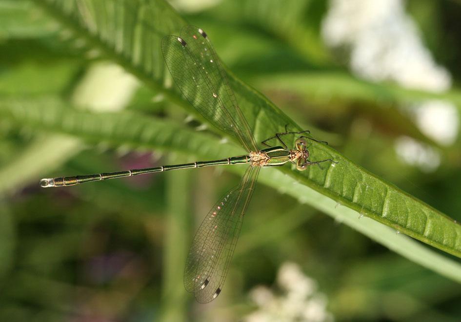 Lestes barbarus - Südliche Binsenjungfer  - Fam. Lestidae  -  Kroatien - Zygoptera - Kleinlibellen - damselflies