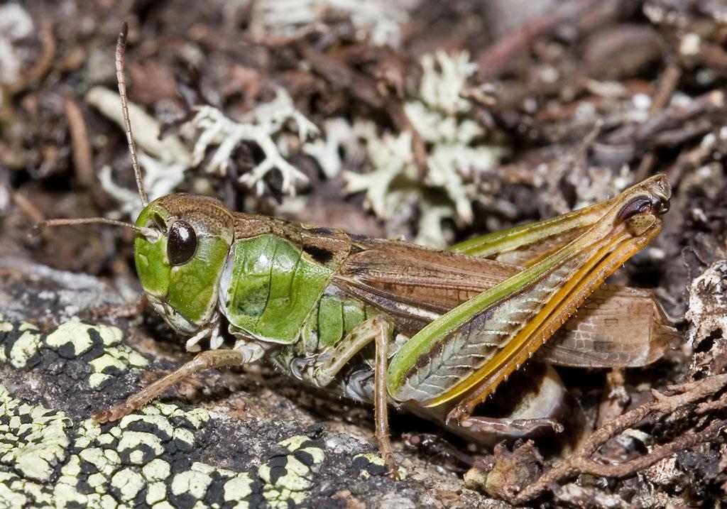 Gomphocerus sibiricus -Sibirische Keulenschrecke - UFam. Gomphocerinae    -  bei der Eiablage - Acrididae - Feldheuschrecken - grasshoppers