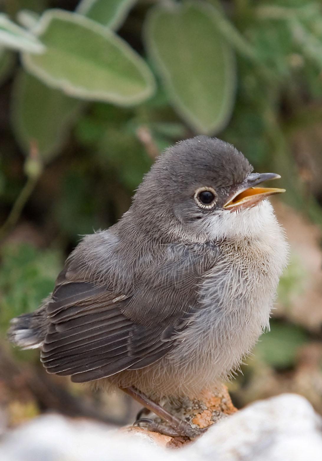 Sylvia melanocephala juv. -Samtkopf-Grasmücke - Tilos - Aves - Vögel - birds