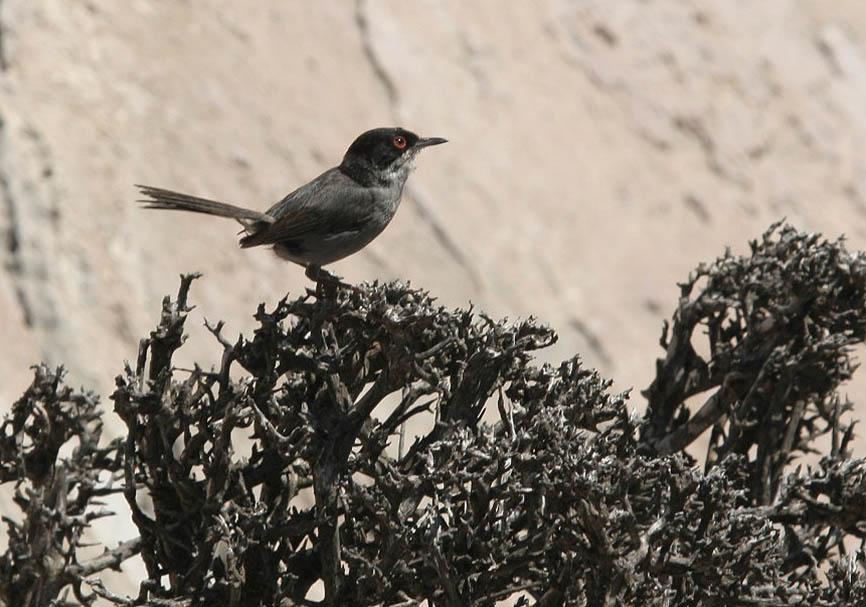 Sylvia melanocephala - Samtkopf-Grasmücke - Tilos - Aves - Vögel - birds