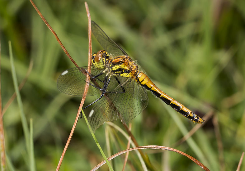 Sympetrum danae - female - Schwarze Heidelibelle - Fam. Libellulidae - Segellibellen - Anisoptera - Großlibellen - dragonflies