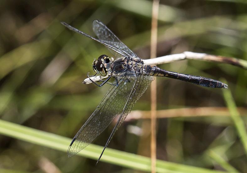 Sympetrum danae male  - Schwarze Heidelibelle - Fam. Libellulidae - Segellibellen - Anisoptera - Großlibellen - dragonflies
