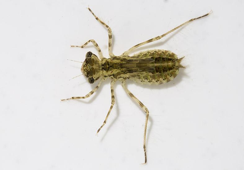 Sympetrum fonscolombii -  Frühe Heidelibelle - Fam. Libellulidae - Segellibellen - Anisoptera - Großlibellen - dragonflies