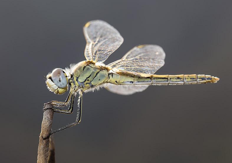 Sympetrum fonscolombii  (female) - Frühe Heidelibelle  - Fam. Libellulidae  -  Tilos - Anisoptera - Großlibellen - dragonflies