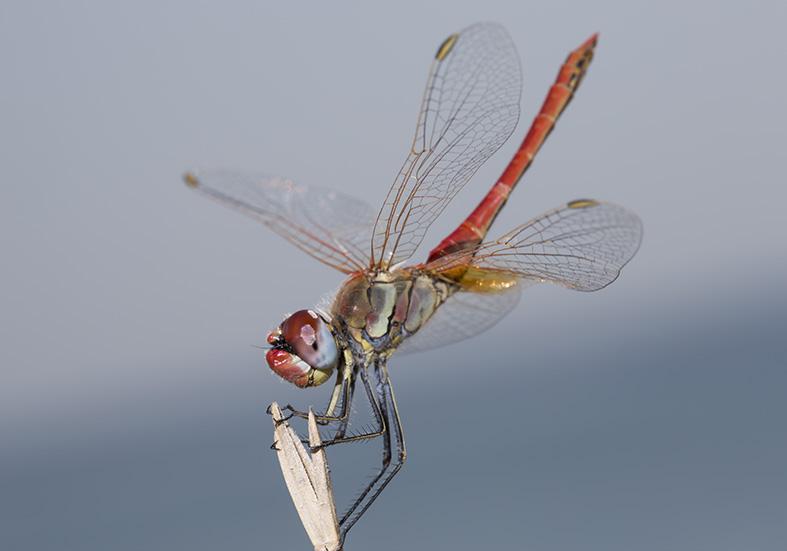 Sympetrum fonscolombii  (male) - Frühe Heidelibelle  - Fam. Libellulidae  -  Tilos - Anisoptera - Großlibellen - dragonflies