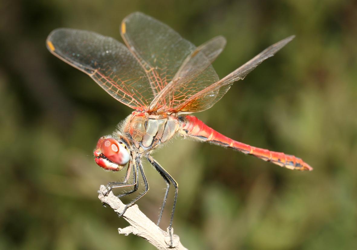 Sympetrum fonscolombii (male) - Frühe Heidelibelle  - Fam. Libellulidae  -  Kykladen - Anisoptera - Großlibellen - dragonflies