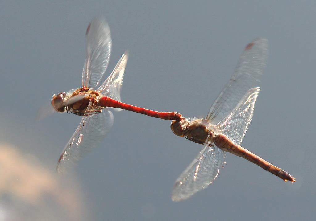 Sympetrum striolatum - Große Heidelibelle - Fam. Libellulidae - Segellibellen - Anisoptera - Großlibellen - dragonflies