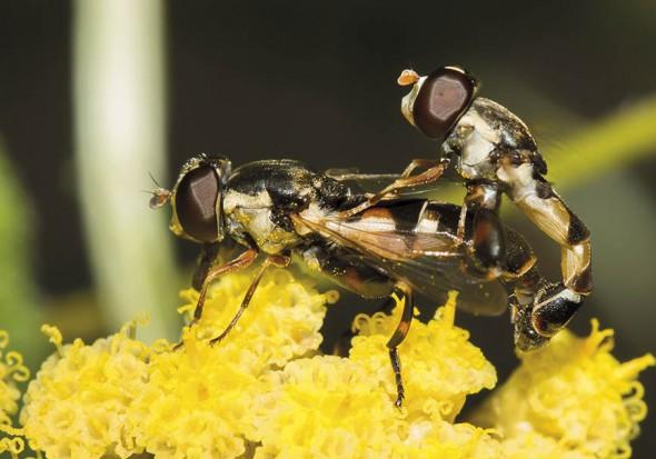 Syritta pipiens - Gemeine Keulenschwebfliege - Fam. Syrphidae - Schwebfliegen - Brachycera (Fliegenartige) - Aschiza