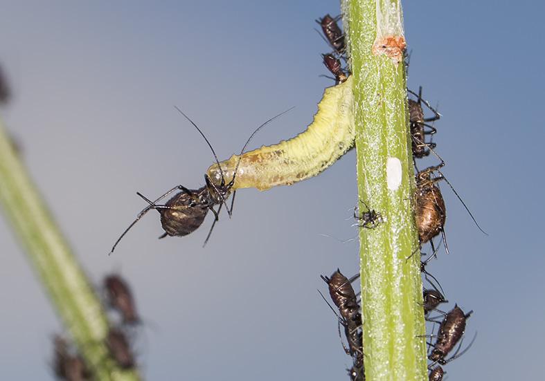 Diptera fliegen focusnatura for Fliegen larve