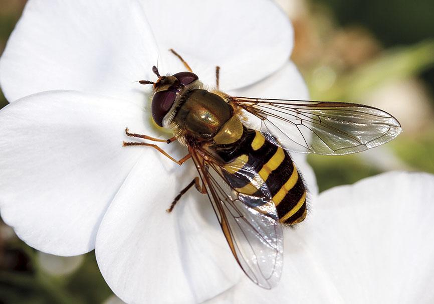 Syrphus vitripennis - Kleine Schwebfliege - Fam. Syrphidae - Schwebfliegen - Brachycera (Fliegenartige) - Aschiza